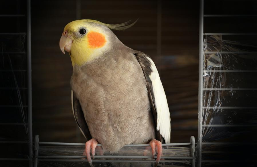 cockatiel  parrot with yellow and orange dot cheeks